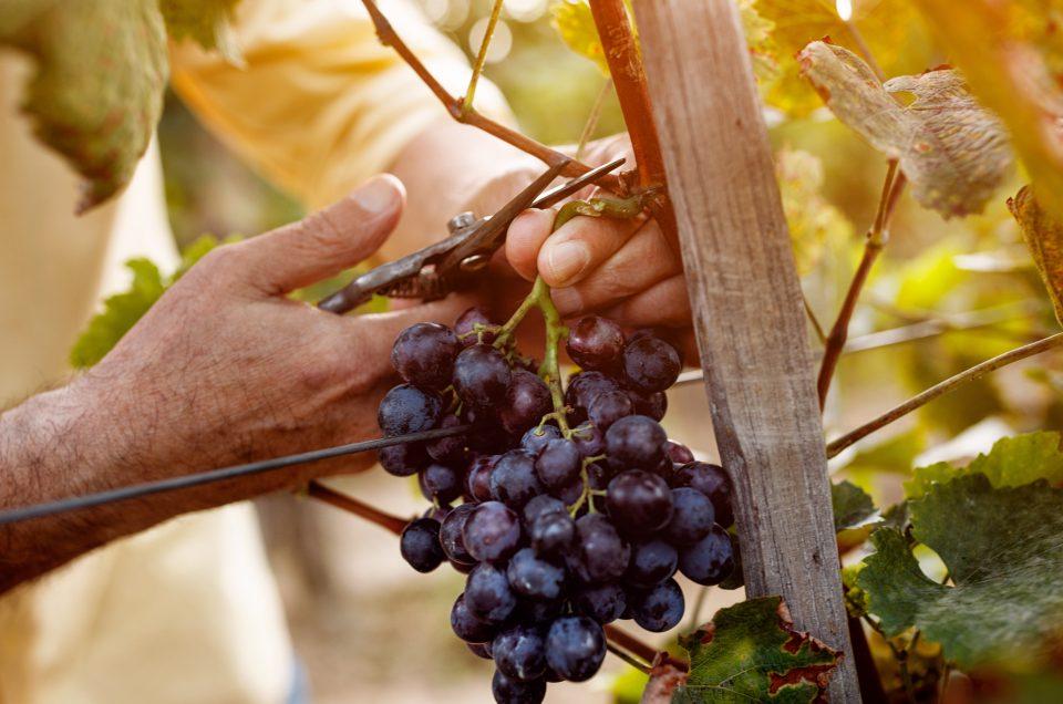 Come è prodotto il vino? Ecco tutte le fasi della Vendemmia